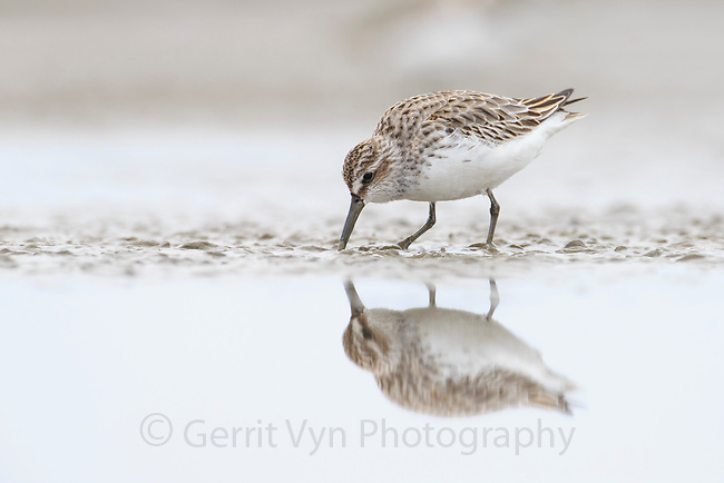 Broad-billed Sandpiper (Limicola falcinellus) in basic plumage. Rudong, China. October.