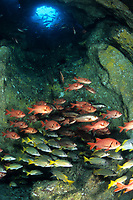 shoal of fish inside a cave, Cocos Island, National Park, Natural World Heritage Site, Costa Rica, Pacific Ocean