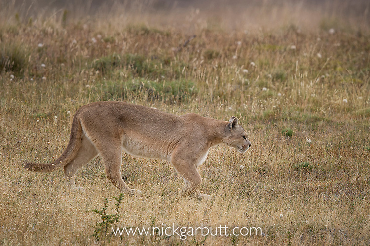 Patagonian Puma (Puma concolor patagonica)(female) walking over open moorland. Torres del Paine National Park, Chilean Patagonia, Chile. March