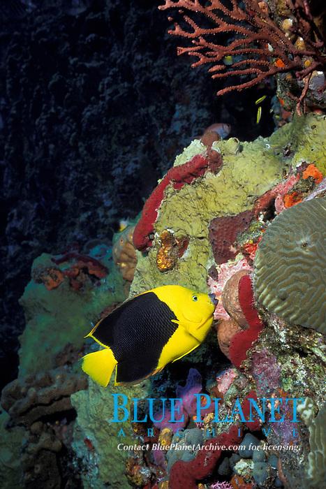 rock beauty angelfish, Holacanthus tricolor, feeding on sponges, Diamond Rock, Saba Island, Netherlands Antilles (Eastern Caribbean Sea, Atlantic), Atlantic