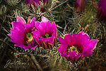 Hedgehog Cactus Blossoms near Sedona.  Here's just one more bit of evidence that we're having a great wildflower season this spring.  These beauties were captured just after sunrise near the Turkey Creek Trail in the Coconino National Forest outside of Sedona, Arizona.<br /> <br /> Image ©2020 James D. Peterson