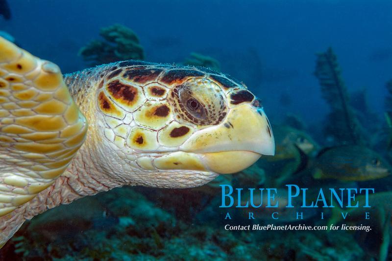Head of a hawksbill turtle, Eretmochelys imbricata, Islamorada, Florida keys, United States, Western Atlantic Ocean