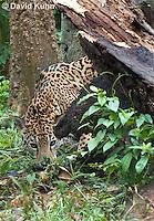 0522-1118  Goldman's Jaguar, Belize, Panthera onca goldmani  © David Kuhn/Dwight Kuhn Photography
