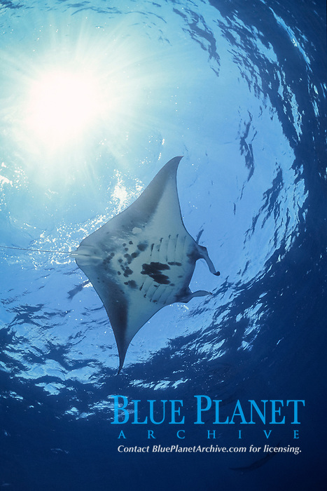reef manta ray, Mobula alfredi, feeding in Bay of Wrecks, Christmas (Kiritimati) Island, Line Islands, Kiribati (Central Pacific Ocean)