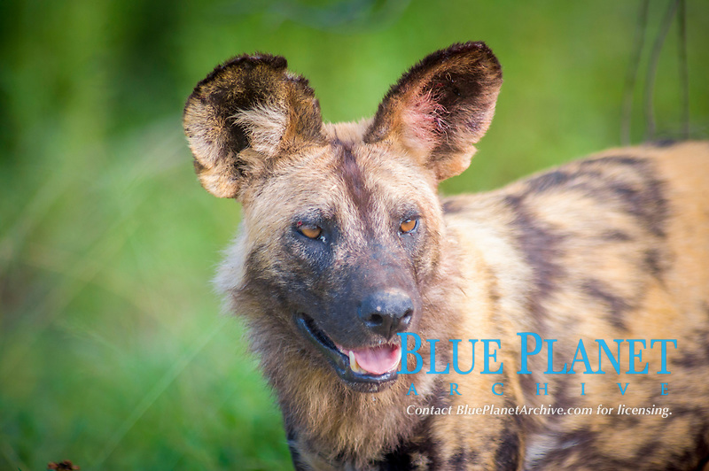 African wild dog, Lycaon pictus, adult, Kruger National Park, South Africa, Africa