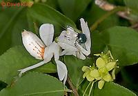 "0610-07nn  Malaysian Orchid Mantis Consuming Prey - Hymenopus coronatus ""Nymph"" - © David Kuhn/Dwight Kuhn Photography"