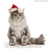 Kim, CHRISTMAS ANIMALS, WEIHNACHTEN TIERE, NAVIDAD ANIMALES, photos+++++,GBJBWP45586,#xa#