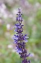 Salvia longispicata x farinacea 'Mystic Spires Blue', early October. A dwarf or compact selection of 'Indigo Spires' introduced in 2006.