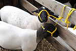 Sheep in Monadnock Barn at Cheshire Fair in Swanzey, New Hampshire USA