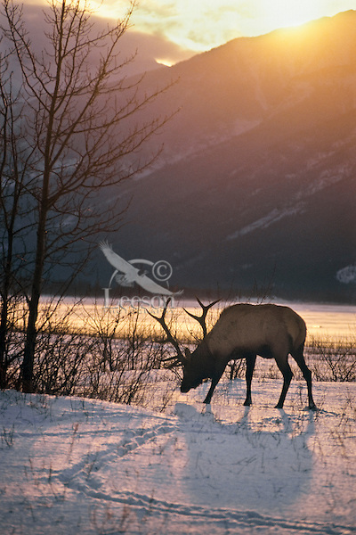 Rocky Mt. Elk Bull, Winter, Northern Rockies