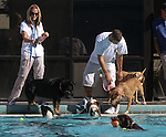 Dogs of all shapes and sizes enjoy the second annual Pool Plunge at the Carson City Aquatic Center in Carson City, on Thursday, Sept. 18, 2010..Photo by Cathleen Allison
