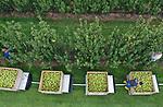 """Foto: VidiPhoto<br /> <br /> DRIEL – Roemeens personeel plukt dinsdag de eerste conferenceperen op de percelen in Driel van fruitbedrijf VOF van Lutterveld uit Kesteren. De 12 ha. peren langs de dijk worden in veertien dagen geplukt. Omdat het in verband met de coronacrisis steeds lastiger wordt om werknemers uit Polen te krijgen, komen er steeds meer Roemeense arbeidsmigranten naar Nederland om de oogst binnen te halen. Volgens bedrijfsleider John Looijen is de kwaliteit van de peren dit jaar zeer goed, ondanks de hitte de afgelopen weken en de nachtvorst in het voorjaar. """"We hebben zowel de appels als de peren beregend deze zomer en dat heeft goed uitgepakt. Het zijn grote en gladde peren geworden."""" De meeste peren gaan na koeling weg voor export. Lutterveld heeft in Kesteren en Driel 80 ha. appels en peren."""
