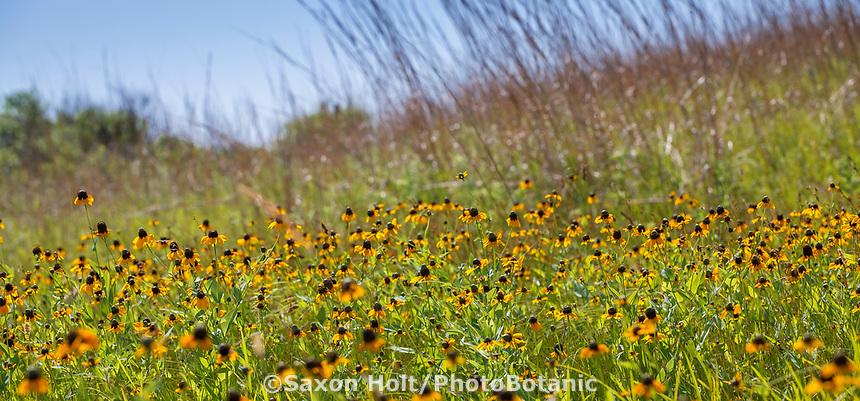 Dracopus amplexicaulis, Clasp leaved Coneflower perennial wildflower in Oklahoma grassland tallgrass prairie native plants - Miller Ranch rangeland