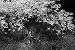Cherry blossoms in Golden Gate Park near the Japanese tea gardens.