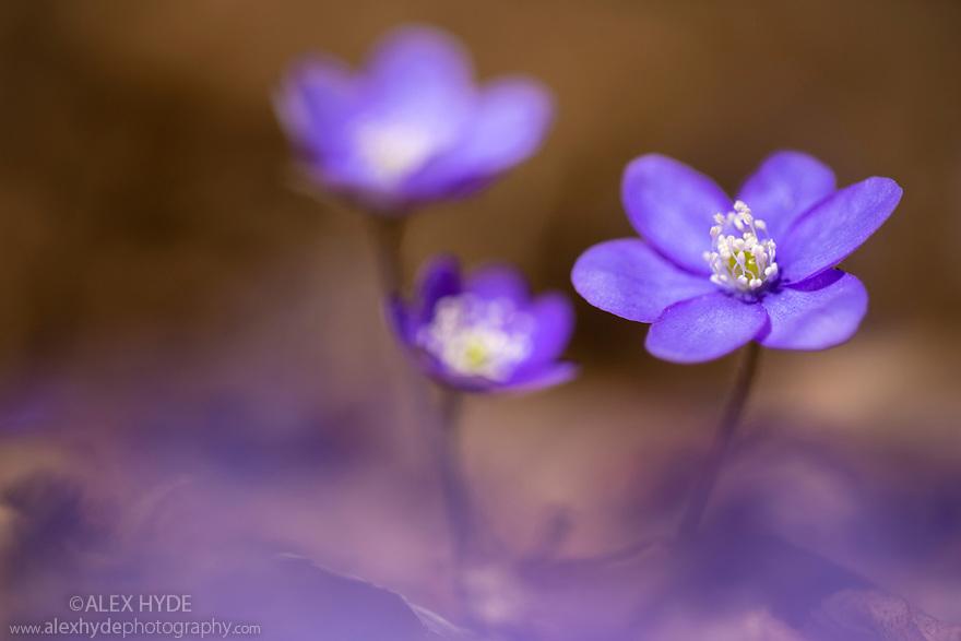 Hepatica (Hepatica nobilis) in flower on the woodland floor, Slovenia. March.