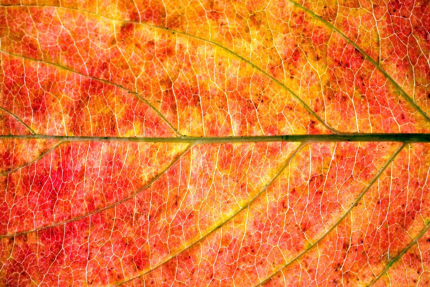 A closeup of a colorful autumn leave.
