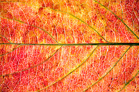 A closeup of a colorful autumn leave.