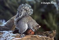 MA23-032z   Gray Squirrel - taking weathered apple to eat in winter - Sciurus carolinensis