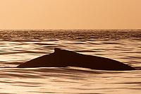 humpback whale, Megaptera novaeangliae, Hahajima, Ogasawara or Bonin Island, Tokyo, Japan, Pacific Ocean