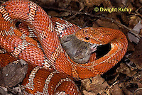 1R22-630z  Corn Snake, Banded Corn Snake, Elaphe guttata guttata or Pantherophis guttata guttata, catching and eating mouse