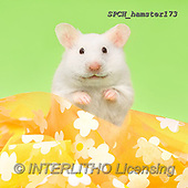 Xavier, ANIMALS, REALISTISCHE TIERE, ANIMALES REALISTICOS, photos+++++,SPCHHAMSTER173,#A#, EVERYDAY ,funny