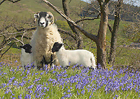A five-crop Swaledale ewe with twin lambs in the May sun and Bluebells at  New Hey Farm, Dunsop Bridge, Lancashire.