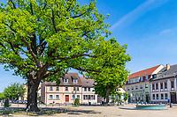 Alte Eiche am Marktplatz, Altstadtinsel Werder (Havel), Potsdam-Mittelmark, Brandenburg, Deutschland