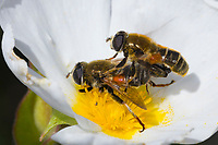Schwebfliege, Paarung, Pärchen, Kopulation, Kopula, Merodon spec., hoverfly, pairing, Kroatien, Croatia