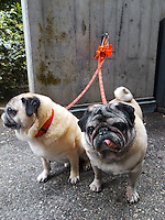 """Switzerland. Canton Ticino. Lugano. Close-up of a two dogs from the Pug breed on red leashes. The pug is a """"toy"""" (small-lower medium) breed of dog with a wrinkly, short-muzzled face, and curled tail. The breed has a fine, glossy coat that comes in a variety of colors, and a compact square body with well-developed muscle. They have been described as multum in parvo (""""much in little""""), referring to the pug's personality and small size. 17.06.11 © 2011 Didier Ruef.."""