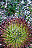 Agave fillifera, Thread Leaf Agave succulent with radiating foliage; UC Santa Cruz Arboretum & Botanic Garden