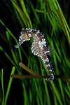 lined seahorse, vertical