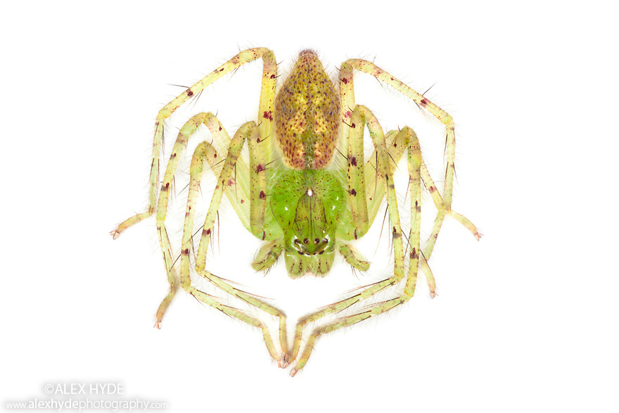 Lynx Spider {Oxyopidae} in ambush posture,  photographed in mobile field studio on a white background in the centre of Maliau Basin, Sabah's 'Lost World', Borneo, Malaysia.