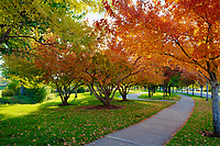 Autumn in the park featuring the fall color of Amur Maple trees.