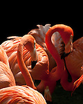 Flamingoes - Pink flamingoes, Jurong Bird Park, Singapore