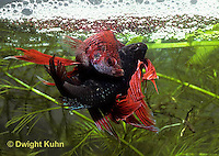 BY05-099z  Siamese Fighting Fish - male mating with egg laden female - Betta splendens