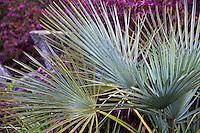 Drought tolerant accent plant, Chamaerops humilis v. argentea - Blue Mediterranean Fan Palm in San Francisco Botanical Garden