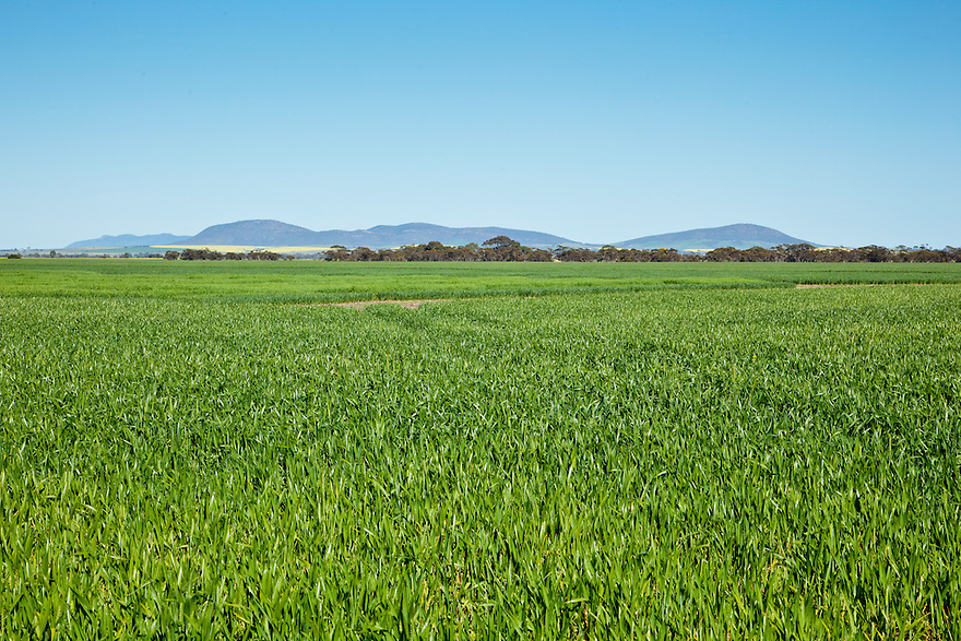 Wheat crops. Eyre Peninsula. South Australia.