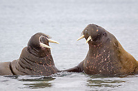 Atlantic Atlantic walrus (Odobenus rosmarus rosmarus), two adults, facing each other in sea, Svalbard, Norway, Europe, Arctic Ocean