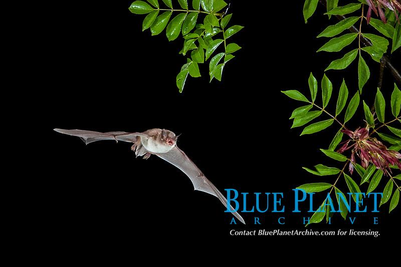 Long-fingered Bat (Myotis capaccinii) in flight, Bulgaria, Europe