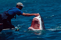 man touches nose of great white shark, Carcharodon carcharias, South Africa