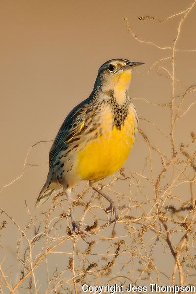 Meadowlark, Bosque del Apache NWR