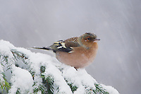 Common Chaffinch, Fringilla coelebs, adult on sprouse branch with snow while snowing, Oberaegeri, Switzerland, Europe
