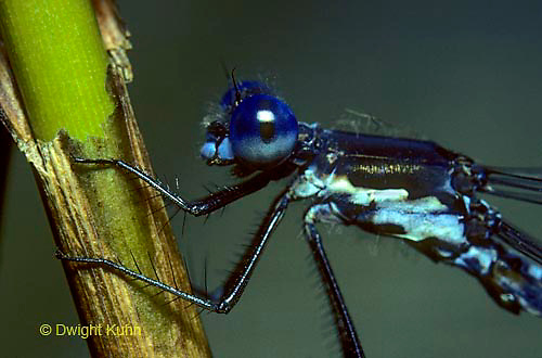 1O02-015z  Spreadwing Damselfly Male - close-up of head and thorax - Sweetflag spreadwing - Lestes forcipatus