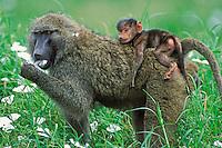 Savanna Baboons or common baboons (Papio cynocephalus)--mother with young.  Serengeti National Park, Tanzania.