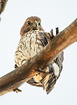"""Pictured:  A hawk stares down curiously at a watching photographer at a resorvoir in San Diego, California.<br /> <br /> The bird, a Cooper Hawk, was snapped by photographer Decker Nomura in Lake Murray.<br /> <br /> Decker said, """"As I was walking along a path I looked up and noticed him staring down at me.  He didn't seem to mind as I raised my camera a took a few shots.""""<br /> <br /> """"I love how calm he is.  It's as if he was waiting for me to take his picture.""""<br /> <br /> Please byline: Decker Nomura/Solent News<br /> <br /> © Decker Nomura/Solent News & Photo Agency<br /> UK +44 (0) 2380 458800"""