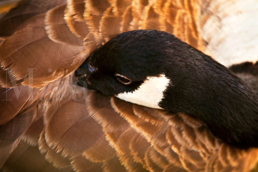 Canadian Goose with head tucked in