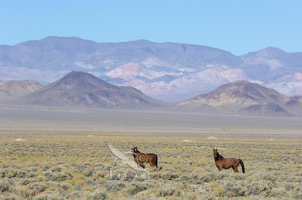 Wild Horses in Nevada desert country.  Fall.
