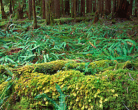 Ferns on the Ancient Groves Nature Trail in the Sole Duck Valley; Olympic National Park, WA