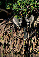 Anhinga, Anhinga anhinga, male calling and drying wings on mangrove tree, Ding Darling National Wildlife Refuge, Sanibel Island, Florida, USA, Dezember 1998