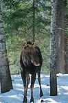 Atteigant près de deux mètres au garrot, l'orignal (Alces alces americana) est le plus grand cervidé au monde. Malgré sa taille imposante, il constitue la proie principale du loup. Quebec en hiver. Canada